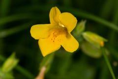 Macrophotography eines wilde Blume Erythranthe-guttata Stockfotografie