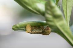 Macrophotography of a green caterpillar Stock Photos