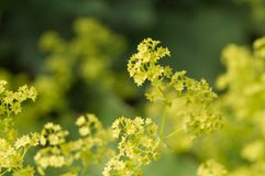 Bright green flowers of a lady s mantle bush stock photography