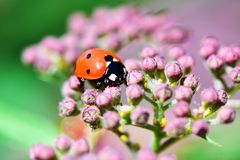 Macrophotography of large and red with black dots ladybug sitting on a flower of japanese meadowsweet or korean spiraea. Various macrophotography of large and royalty free stock image