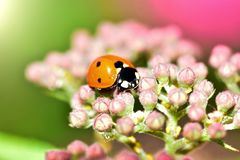 Macrophotography of large and red with black dots ladybug sitting on a flower of japanese meadowsweet or korean spiraea. Various macrophotography of large and stock photo
