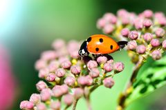 Macrophotography of large and red with black dots ladybug sitting on a flower of japanese meadowsweet or korean spiraea. Various macrophotography of large and royalty free stock photos