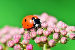 Macrophotography of large and red with black dots ladybug sitting on a flower of japanese meadowsweet or korean spiraea. Various macrophotography of large and royalty free stock images