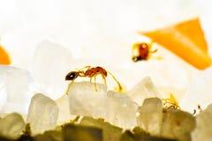 Macrophotography macro del azúcar de la hormiga redant Imágenes de archivo libres de regalías