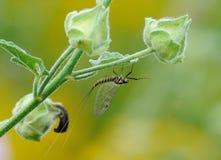 Macrophotography of Mayflies or shadflies Stock Photography