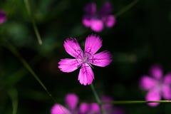Field carnation Royalty Free Stock Photos