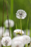 Macrophotography of multiple white dandelions Taraxacum officiale on the green and brown blurred background Royalty Free Stock Photo