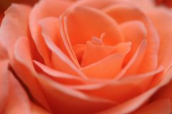 Salmon pink rose blossom. Macrophotography of the petals of a salmon pink tea hybrid rose flower Royalty Free Stock Photography
