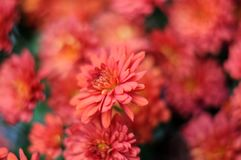 Red garden mums. Macrophotography of red chrysanths in autumnal garden Royalty Free Stock Photo
