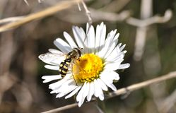 Syrphid pollinating a daisy flower. Macrophotography of a Syrphidae fly species feeding on pollen of a daisy flower, at the same time is pollinasing the flower royalty free stock photos