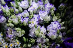 Macrophotography of tender blue and white flowers with unopened buds. Macrophotography of a bouquet consisting of tender blue and white flowers with unopened Stock Image