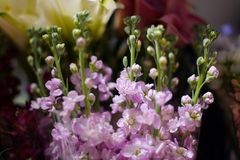 Macrophotography of tender lilac flowers with unopened buds in a shop. Macrophotography of a tender bouquet consisting of beautiful lilac flowers with unopened Royalty Free Stock Photo