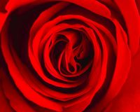 Macrophotography of a red rose. Macrophotography of texture a beautiful vibrant red rose Stock Photos