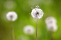 Macrophotography of white dandelion flowers Taraxacum officiale on green background Royalty Free Stock Photography