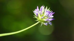 Macrophotography of a wild flower (Bituminaria bituminosa) Stock Images