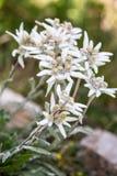 Macrophotography of a wild flower - Leontopodium alpinum Stock Photo