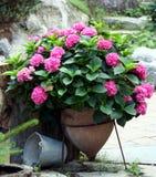 Macrophyla van de hydrangea hortensia royalty-vrije stock foto's
