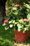 Macrophyla van de hydrangea hortensia in pot Royalty-vrije Stock Afbeelding