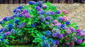 Macrophylla гортензии гортензии в других цветах Стоковые Фото