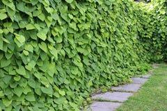 Macrophylla кирказона Стоковая Фотография RF