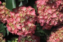 Macrophylla Adria da hortênsia fotografia de stock