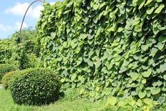 Macrophylla Aristolochia ή σωλήνας Dutchman's στην υποστήριξη Στοκ Εικόνες
