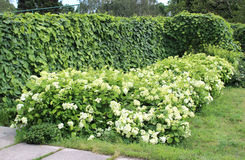Macrophylla Aristolochia ή σωλήνων και hydrangea Dutchman's θάμνοι στο θερινό κήπο Στοκ Εικόνα