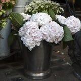Macrophylla branco, cor-de-rosa da hortênsia Fotos de Stock