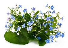 Macrophylla Brunner για το σχέδιο κήπων στοκ φωτογραφία