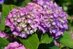 Macrophylla d'hortensia sur des gouttes de pluie Photographie stock libre de droits