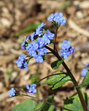 Macrophylla de Brunnera Imagem de Stock