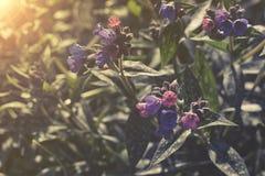 Macrophylla de Brunnera Imágenes de archivo libres de regalías