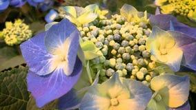 Macrophylla 5238 de la hortensia