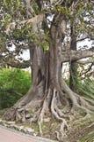 Macrophylla del Ficus Imagen de archivo libre de regalías