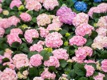 Macrophylla dell'ortensia del fiore dell'ortensia in un giardino Fotografia Stock
