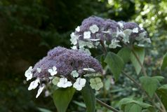 Macrophylla di aspera dell'ortensia immagini stock libere da diritti