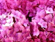 Macrophylla do Hydrangea fotografia de stock
