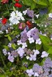 Macrophylla hermoso de la hortensia de Lacecap con los corymbs fotos de archivo