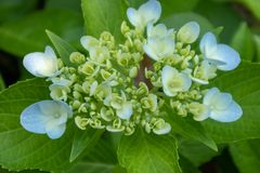 Macrophylla hydrangea-Hydrangea στοκ φωτογραφία με δικαίωμα ελεύθερης χρήσης