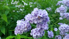 Macrophylla púrpura de la hortensia de la flor de la hortensia en un jardín Fotos de archivo libres de regalías
