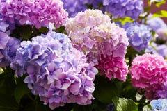 Macrophylla porpora dell'ortensia del fiore dell'ortensia che fiorisce in primavera e l'estate in un giardino immagine stock