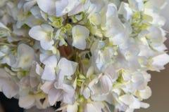 Macrophylla Thunb de Sépale-hortensia Ser images libres de droits