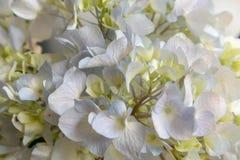 Macrophylla Thunb de Sépale-hortensia Ser photo stock