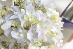 Macrophylla Thunb de Sépale-hortensia Ser photographie stock libre de droits