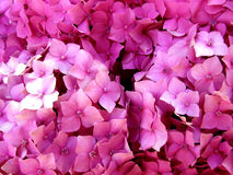 Macrophylla van de hydrangea hortensia Stock Fotografie