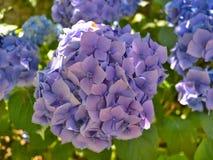 Macrophylla van de hydrangea hortensia Stock Foto's