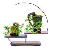 Macrophyllus budista chino del podocarpus del pino en formatos de los bonsais en soporte fotografía de archivo libre de regalías