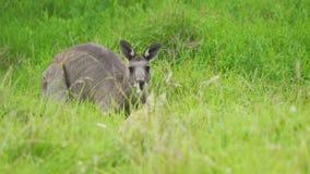 Macropodidae gris del este del canguro que oculta en la hierba en Australia metrajes