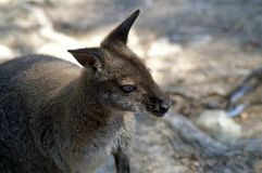 Macropods are marsupials, the kangaroo family. Macropods are native to the Australian continent the mainland, Tasmania, New Guinea and nearby islands. Kangaroo Royalty Free Stock Photography