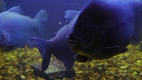 Macropomum de Colossoma detrás del vidrio en un acuario iluminado oscuro metrajes